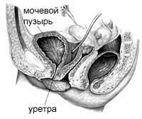 НЕДЕРЖАНИЕ МОЧИ у женщин - расположение органов малого таза в норме