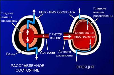 ЭРЕКЦИЯ - механизм ЭРЕКЦИИ